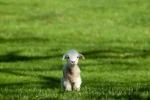 lamb-on-a-green-field-big