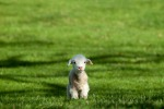 lamb-on-a-green-field-big